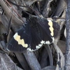 Eutrichopidia latinus (Yellow-banded Day-moth) at Cotter Reserve - 22 Sep 2020 by JudithRoach