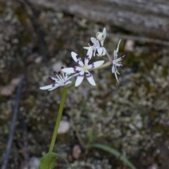 Wurmbea dioica subsp. dioica (Early Nancy) at Cotter Reserve - 22 Sep 2020 by JudithRoach