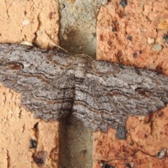 Ectropis excursaria (Common Bark Moth) at Conder, ACT - 8 May 2020 by michaelb