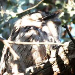 Podargus strigoides (Tawny Frogmouth) at Hughes Grassy Woodland - 22 Sep 2020 by TomT