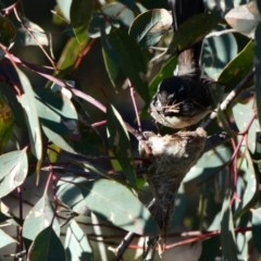 Rhipidura albiscapa (Grey Fantail) at Red Hill Nature Reserve - 22 Sep 2020 by TomT