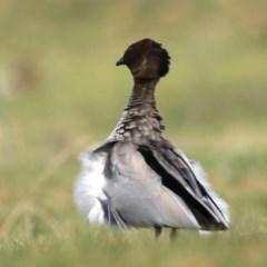 Chenonetta jubata (Australian Wood Duck) at Mount Ainslie - 16 Sep 2020 by jbromilow50