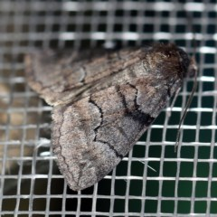 Dysbatus undescribed species (A Line-moth) at O'Connor, ACT - 18 Sep 2020 by ibaird