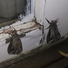 Abantiades atripalpis (Bardee grub/moth, Rain Moth) at Michelago, NSW - 28 Apr 2020 by Illilanga