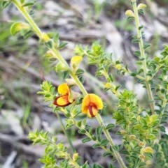 Pultenaea foliolosa (Small Leaf Bushpea) at Monument Hill and Roper Street Corridor - 4 Sep 2020 by ClaireSee