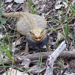 Pogona barbata (Eastern Bearded Dragon) at Nail Can Hill - 18 Sep 2020 by Lizzie
