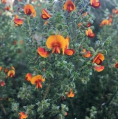 Pultenaea foliolosa (Small Leaf Bushpea) at Jack Perry Reserve - 23 Sep 2020 by Alburyconservationcompany