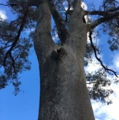 Eucalyptus albens (White Box) at Wodonga, VIC - 23 Sep 2020 by Alburyconservationcompany