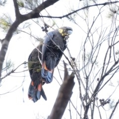 Calyptorhynchus lathami (Glossy Black-Cockatoo) at Penrose - 1 Jun 2020 by Aussiegall