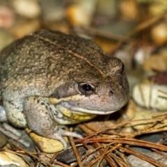 Limnodynastes dumerilii (Eastern Banjo Frog) at Penrose - 3 Sep 2020 by Aussiegall