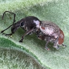 Perperus sp. (Weevil) at Wattamolla, NSW - 17 Sep 2020 by WattaWanderer