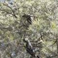 Calyptorhynchus lathami at - 5 Sep 2020