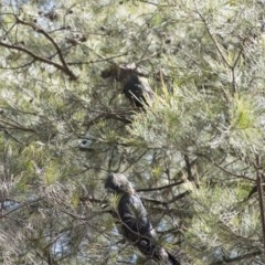Calyptorhynchus lathami (Glossy Black-Cockatoo) at Penrose - 5 Sep 2020 by Aussiegall