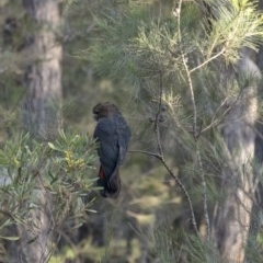 Calyptorhynchus lathami (Glossy Black-Cockatoo) at Wingello - 14 Sep 2020 by Aussiegall