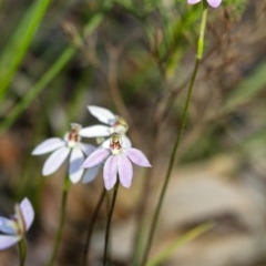 Caladenia carnea (Pink fingers) at Penrose - 15 Sep 2020 by Aussiegall