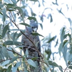Callocephalon fimbriatum (Gang-gang Cockatoo) at Penrose - 15 Sep 2020 by Aussiegall