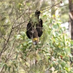 Calyptorhynchus lathami (Glossy Black-Cockatoo) at Penrose - 16 Sep 2020 by Aussiegall