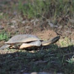 Chelodina longicollis (Eastern Long-neck Turtle) at Gundaroo, NSW - 21 Sep 2020 by Gunyijan