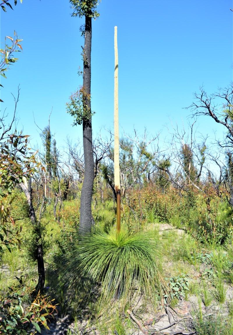 Xanthorrhoea australis at Bugong National Park - 23 Sep 2020