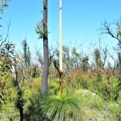 Xanthorrhoea australis (Grass Tree) at Bugong National Park - 23 Sep 2020 by plants