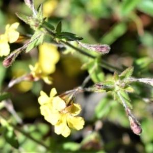 Goodenia heterophylla subsp. eglandulosa at Bugong National Park - 23 Sep 2020