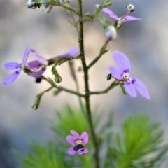 Stylidium laricifolium (Giant triggerplant, Tree triggerplant) at Bugong National Park - 23 Sep 2020 by plants
