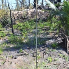 Xanthorrhoea concava (Grass Tree) at Bugong National Park - 23 Sep 2020 by plants