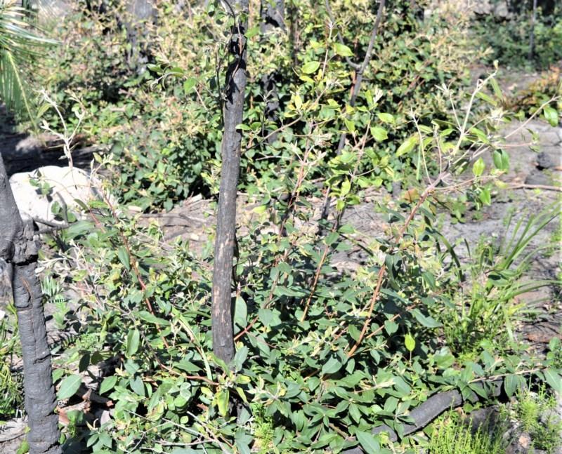 Syncarpia glomulifera subsp. glomulifera at Bugong National Park - 23 Sep 2020