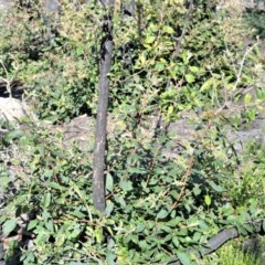 Syncarpia glomulifera subsp. glomulifera (Turpentine) at Bugong National Park - 23 Sep 2020 by plants