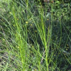 Viminaria juncea (Golden Spray) at Bugong National Park - 23 Sep 2020 by plants