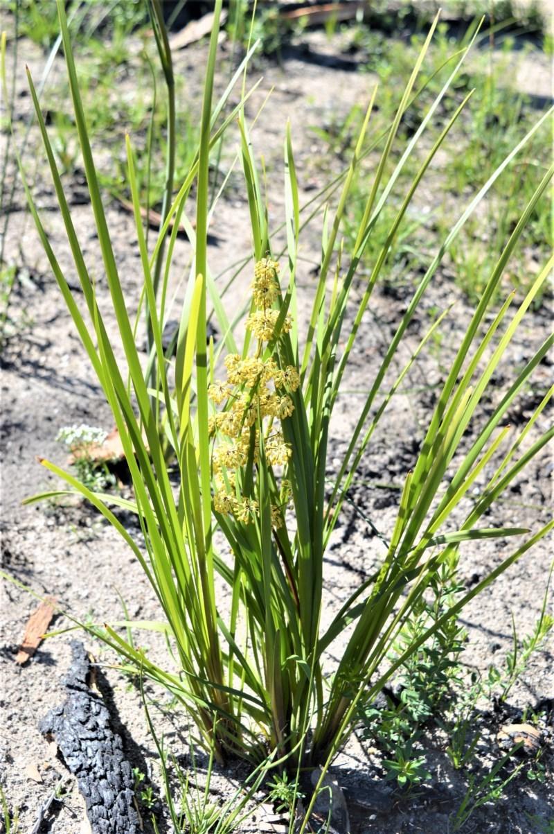 Lomandra multiflora subsp. multiflora at Bugong National Park - 23 Sep 2020