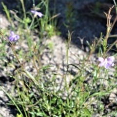 Scaevola ramosissima (Hairy Fan-flower) at Bugong National Park - 23 Sep 2020 by plants