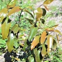 Eupomatia laurina (Bolwarra) at Bugong National Park - 23 Sep 2020 by plants