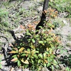 Elaeocarpus reticulatus (Blueberry Ash) at Bugong National Park - 23 Sep 2020 by plants