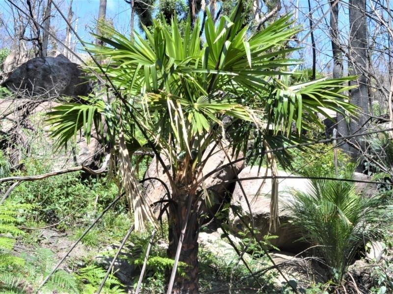 Livistona australis at Bugong National Park - 23 Sep 2020