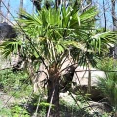 Livistona australis (Australian Cabbage Palm) at Bugong National Park - 23 Sep 2020 by plants