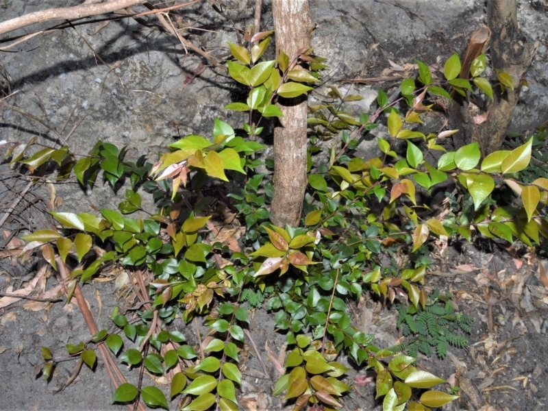 Backhousia myrtifolia at Bugong National Park - 23 Sep 2020