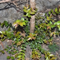 Backhousia myrtifolia (Grey Myrtle) at Bugong National Park - 23 Sep 2020 by plants