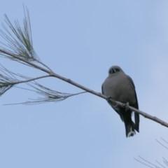 Artamus cyanopterus (Dusky Woodswallow) at Lake Ginninderra - 23 Sep 2020 by AllanS