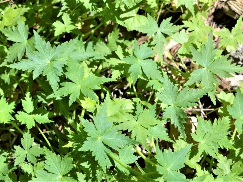 Hydrocotyle geraniifolia at Bugong National Park - 23 Sep 2020