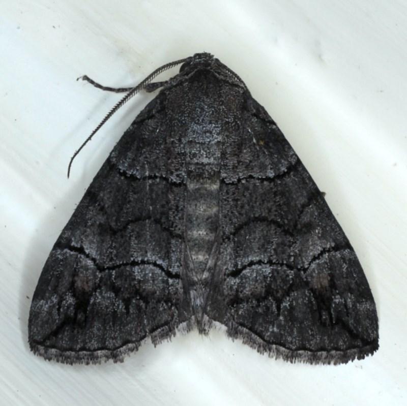 Dysbatus singularis at Ainslie, ACT - 16 Sep 2020