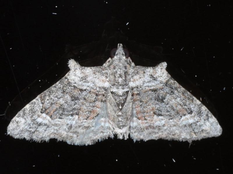 Phrissogonus laticostata at Ainslie, ACT - 16 Sep 2020
