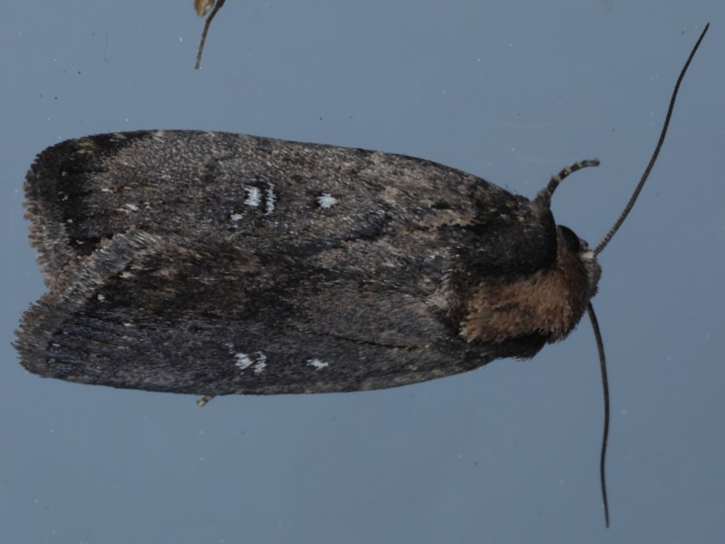 Proteuxoa provisional species 3 at Ainslie, ACT - 16 Sep 2020