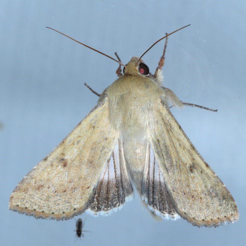 Helicoverpa punctigera at Ainslie, ACT - 16 Sep 2020