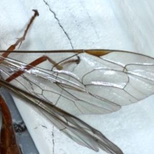 Netelia sp. (genus) at Ainslie, ACT - 16 Sep 2020