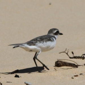 Charadrius leschenaultii at Wairo Beach and Dolphin Point - 24 Sep 2020