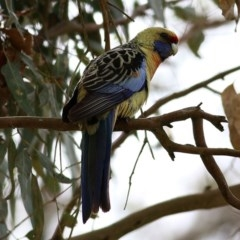 Platycercus elegans flaveolus (Yellow Rosella) at Clyde Cameron Reserve - 24 Sep 2020 by Kyliegw