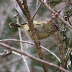 Acanthiza lineata (Striated Thornbill) at Clyde Cameron Reserve - 24 Sep 2020 by Kyliegw