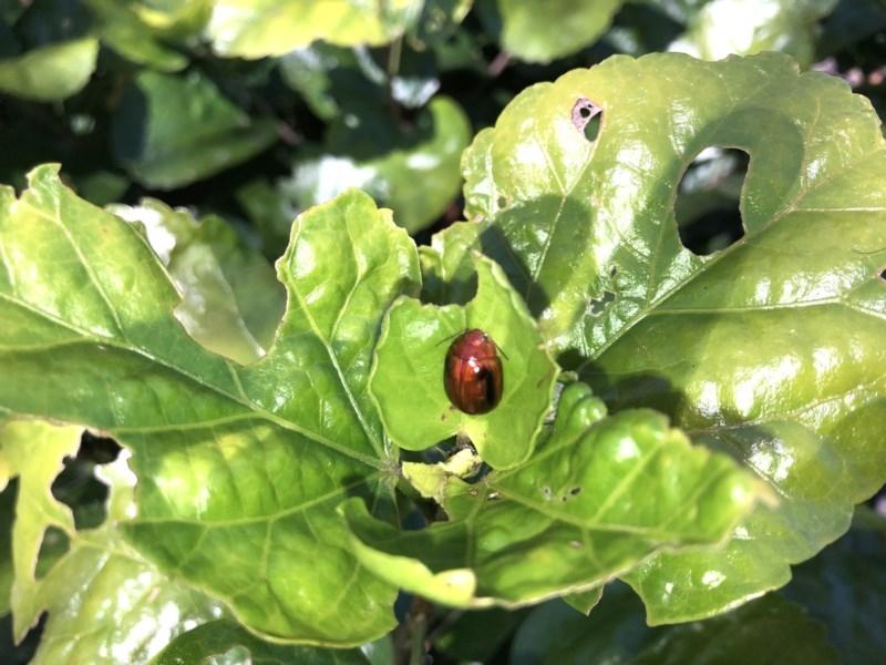 Paropsisterna liturata at Berry, NSW - 24 Sep 2020