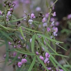 Glycine clandestina (Twining glycine) at Dryandra St Woodland - 24 Sep 2020 by ConBoekel